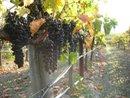 Grapes for Villa del Monte Winery