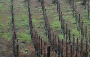 Winter grapevines