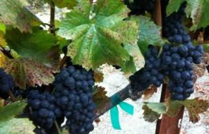 Pinot Grapes for Villa del Monte Winery