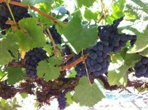 Villa del Monte Pinot Noir Grapes