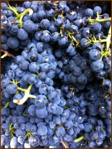 Freshly picked Pinot Noir at  Villa del Monte Winery