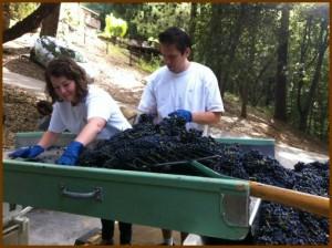 Hand sorting Pinot Noir