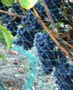Grapes and Netting