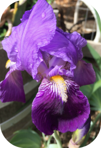 Wine tasting and iris giveaway